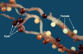 golden nematodes