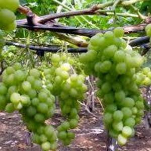 california desert grapes