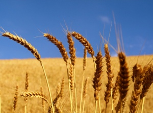 wheat-field-golden-grain