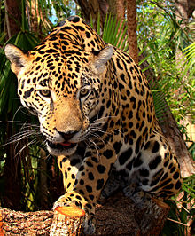 Jaguar-Belize-Zoo