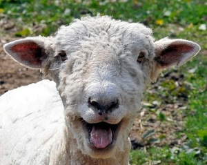 funny-sheep